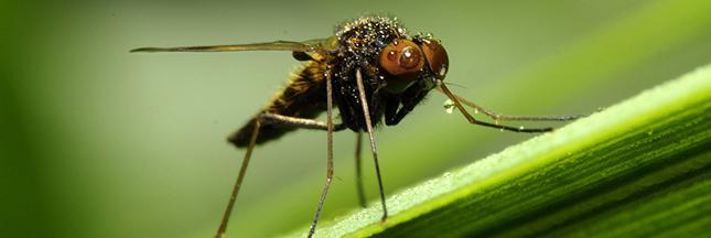 moustique-gros-plan