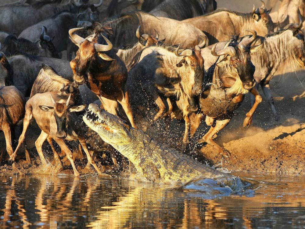 crocodiles et gnous Tanzanie.jpg