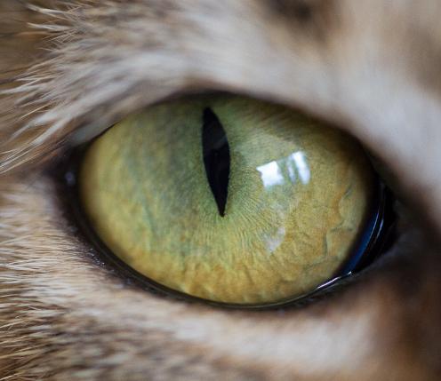 oeil du chat