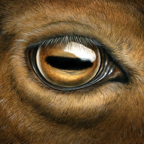 oeil de la chèvre