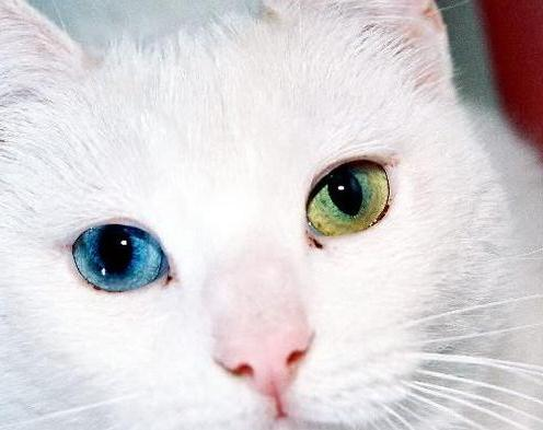 chat-aux-yeux-vairons