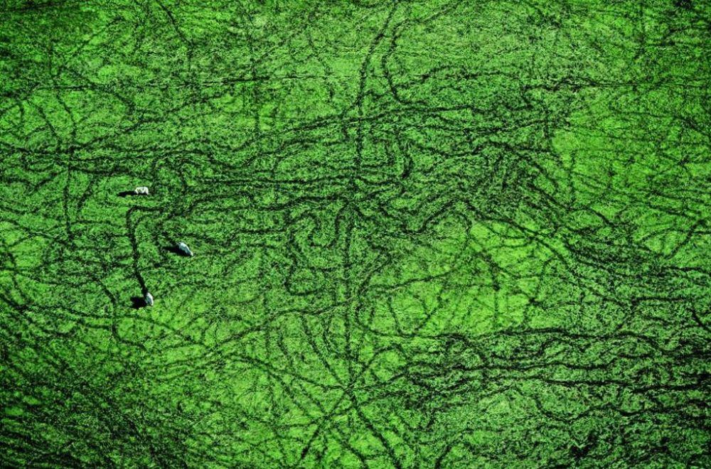 yab-vaches-paissant-dans-le-pantanal-ettat-du-masso-grosso-bresil