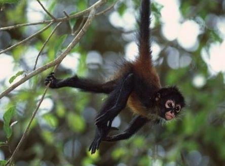 bebe-singe-araignee