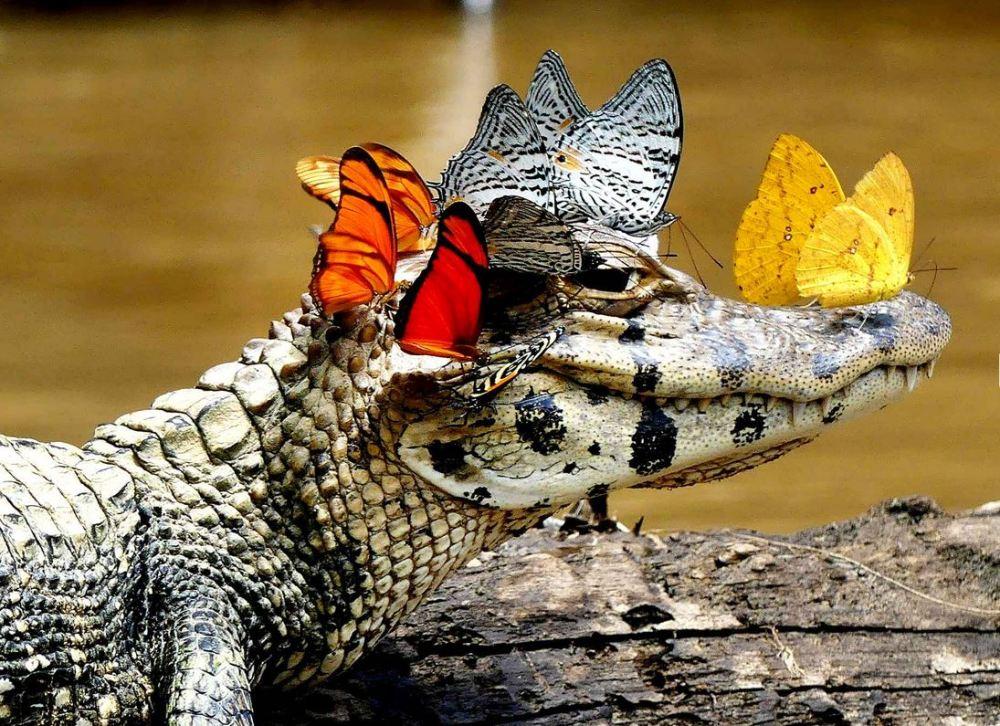 caiman-et-papillons