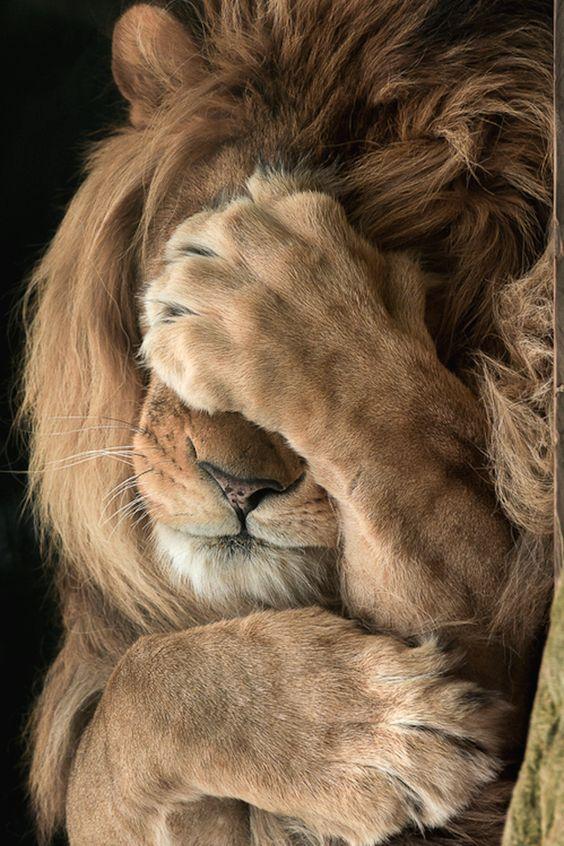 lion-kenya-2