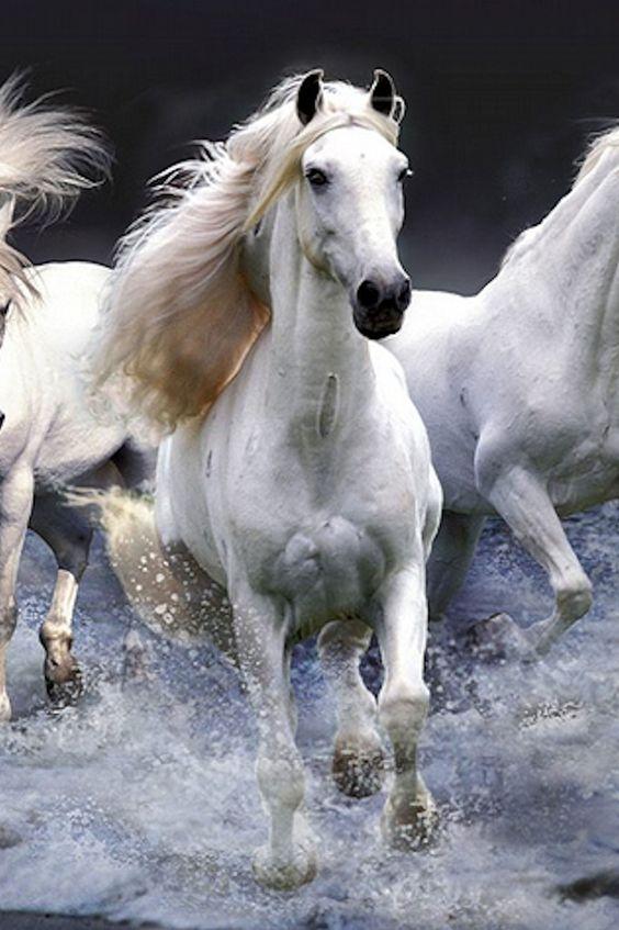 chevaux blancs Camargue3.jpg