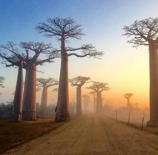 Baobabs Masagascar.jpg