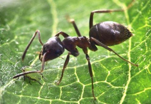 fourmi-legionnaire