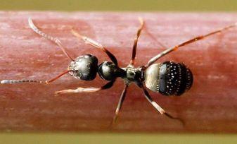 lasiur-niger-fourmi