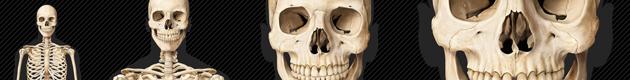 squelette-humain