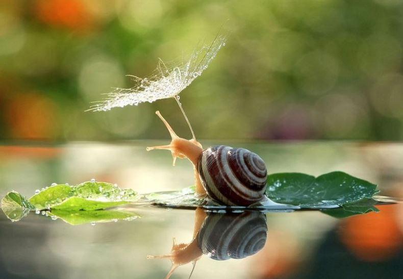 escargot se laissant flotter sur une marre.JPG