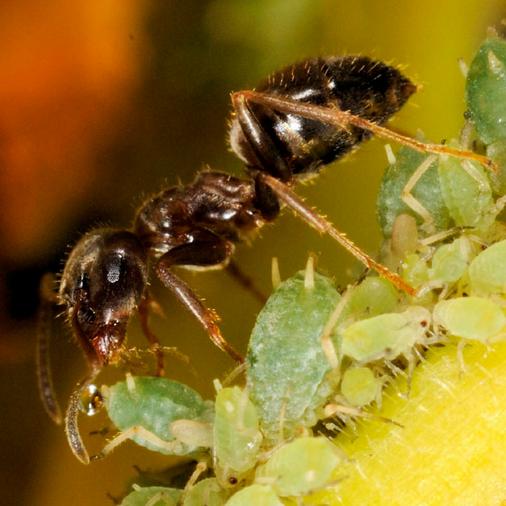 fourmis pucerons