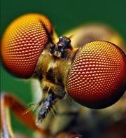 oeil à facette de la mouche