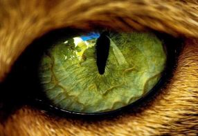 oeil de chat siamois