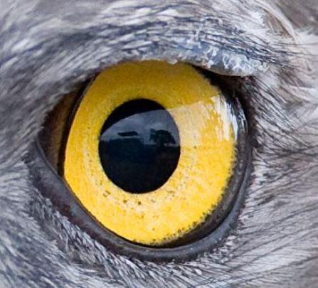 oeil de l'aigle