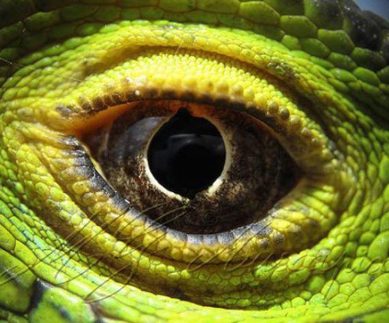 oeil de l'aligator