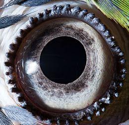 oeil de perroquet ara