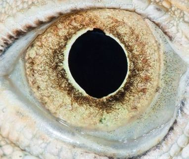 oeil d'iguane