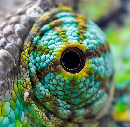 oeil du caméléon 3