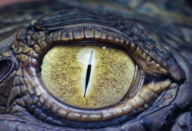 oeil du crocodile du Nil