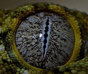 oeil du gecko geant de nouvelle caledonie