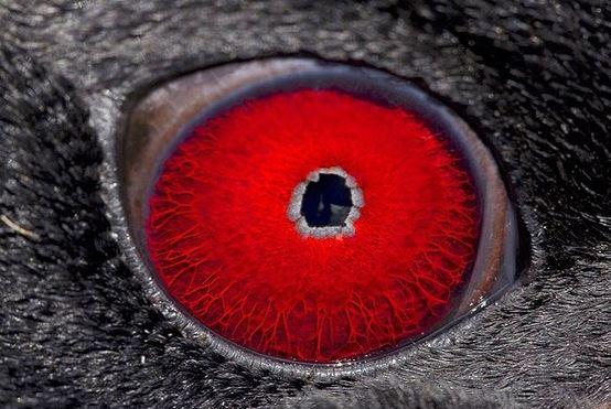 oeil du gorfou doré