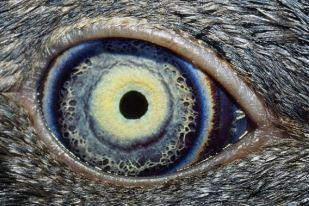 oeil du manchot pygmée