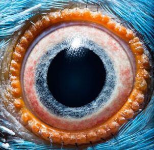 oeil du perroquet