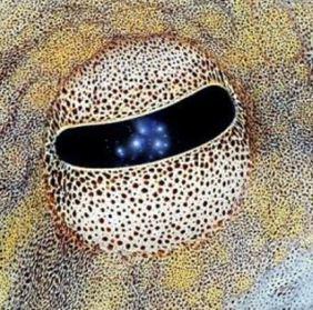 oeil du poulpe de Méditerranée