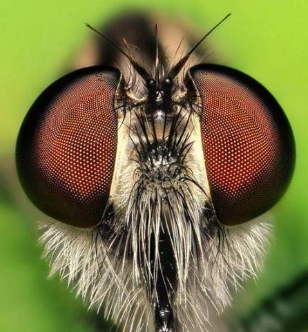oeil libellule demoiselle