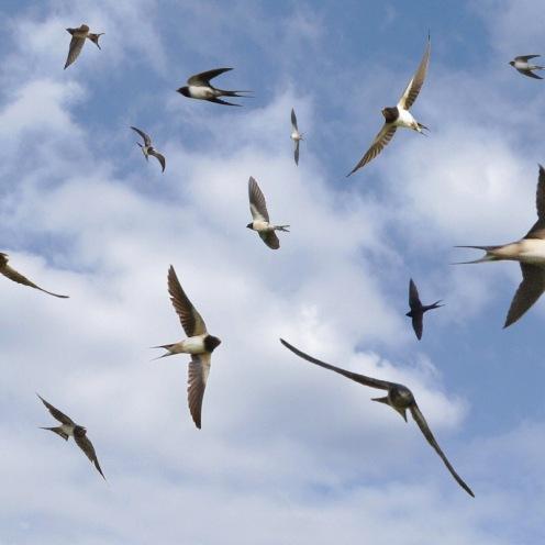 Un vol d'hirondelles de septembre : ceci est un montage de toutes les hirondelles que j'ai pu attraper avec mon appareil, c'est qu'elles sont rapides !