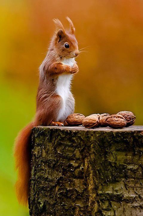 ecureuil faisant ses réserves pour l hiver