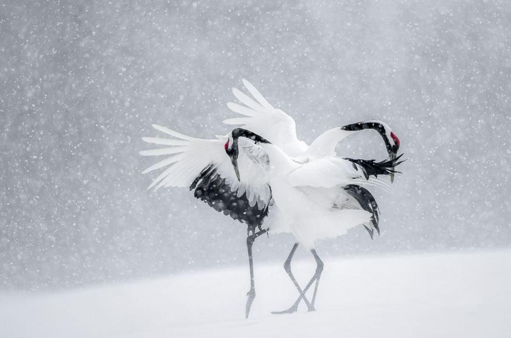 Parade nuptiale des grues du Japon, Hokkaido, sous la neige. Espèce en voie de disparition chassée avant pour ses vertus prétendument aphrodisiaques © Vincent MUNIER.JPG