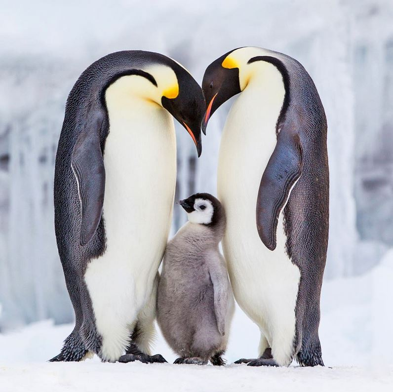 pingouins empereurs en famille photo Paul Nicklen.JPG
