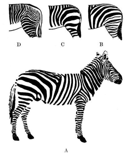 rayures Zebres.JPG