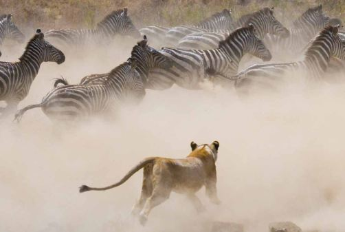 zebre avec lionne.JPG