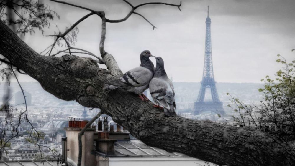 pigeon paris.JPG