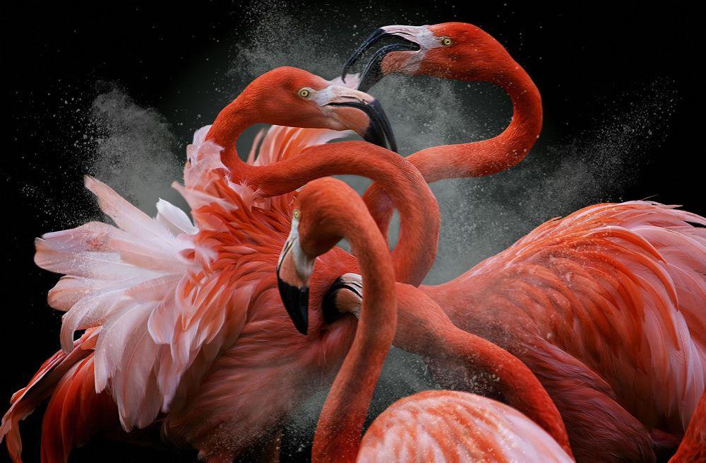 flamants roses ©Pedro Jarque Krebs, gagnant du concours de photographie Bird Photographer of the Year 2018