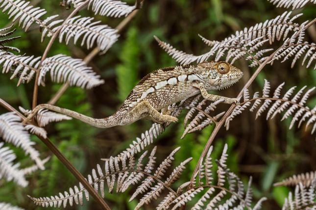 caméléon camouflage 1
