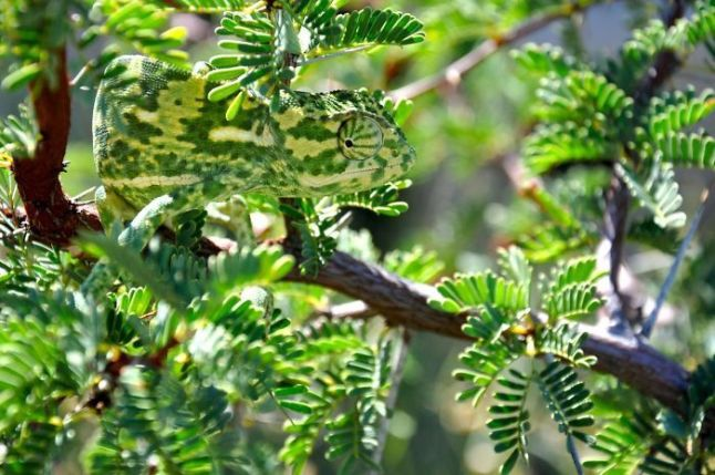 caméléon camouflage