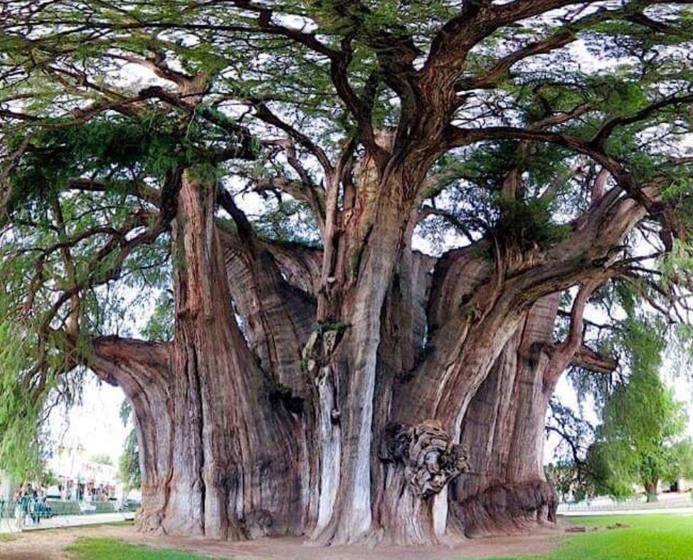 arbre du tule
