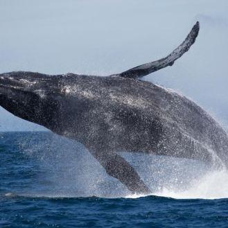 baleine géante île de la Réunion