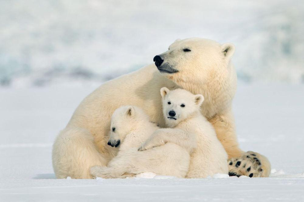 ours polaire Etats Unis Michel Rawicki 1