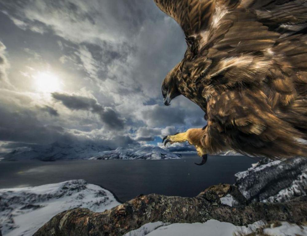 Aigle © Audun Rikardsen Wildlife photographer of the year 2019
