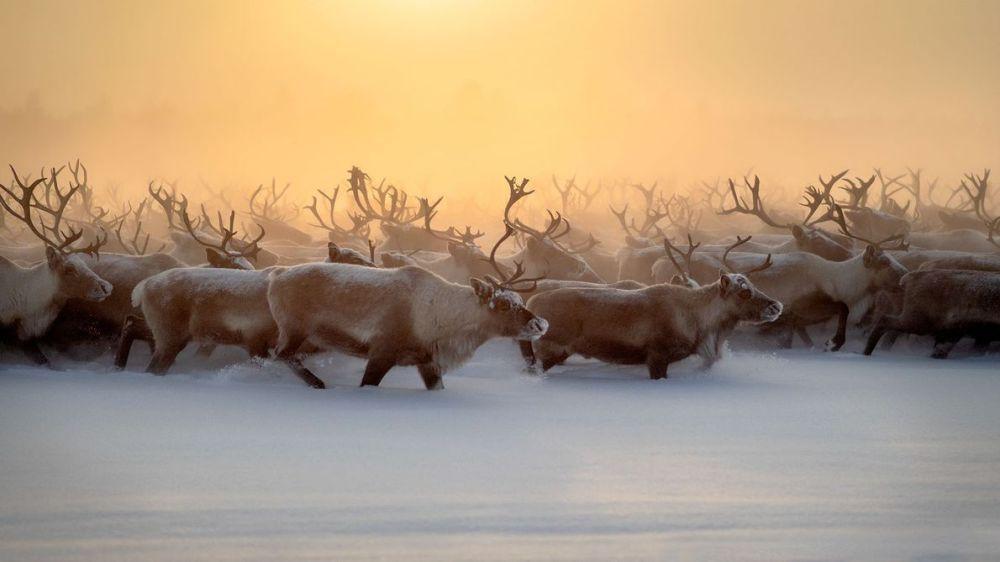 troupeau de rennes gardés par les Nenets Russie @Marcel Rebro