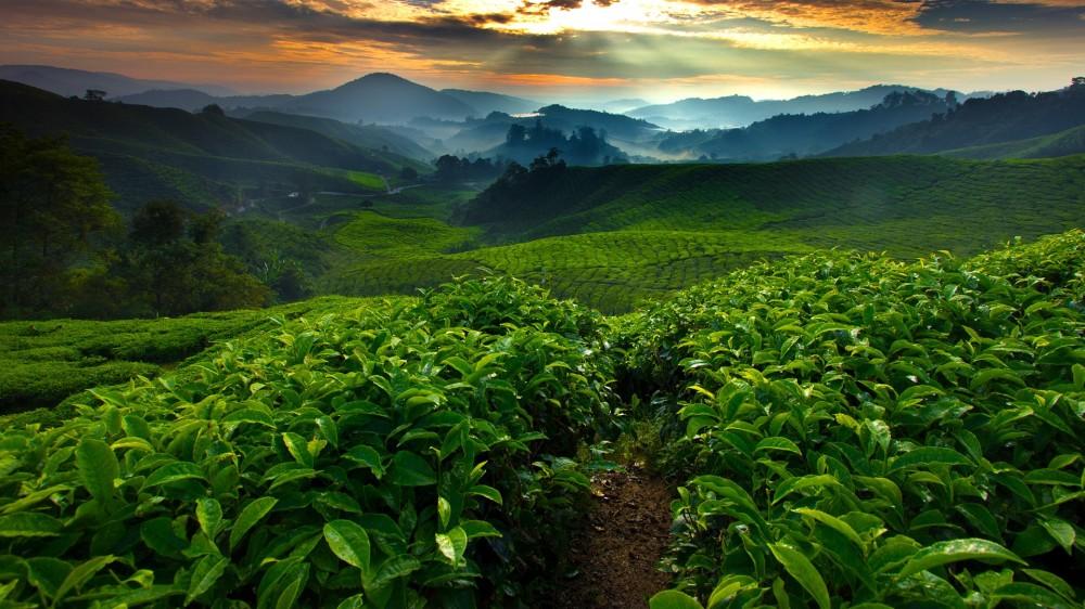Montagnes de thé sur les hauts plateaux de Cameron Malaisie © Cameron Mizan
