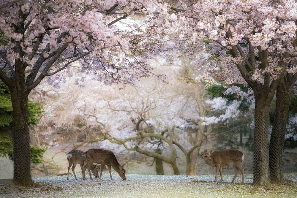 Sakura Parc de Nara